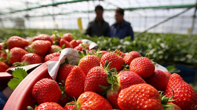 В Испания няма кой да бере ягодите