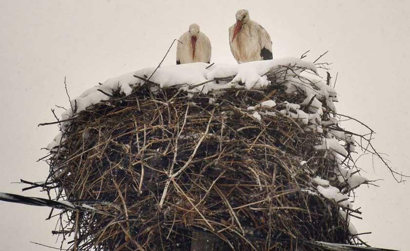 Щъркели бедстват в априлската зима у нас