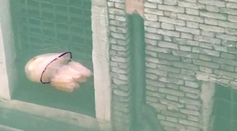 Медузи плуват в избистрената вода на Венеция