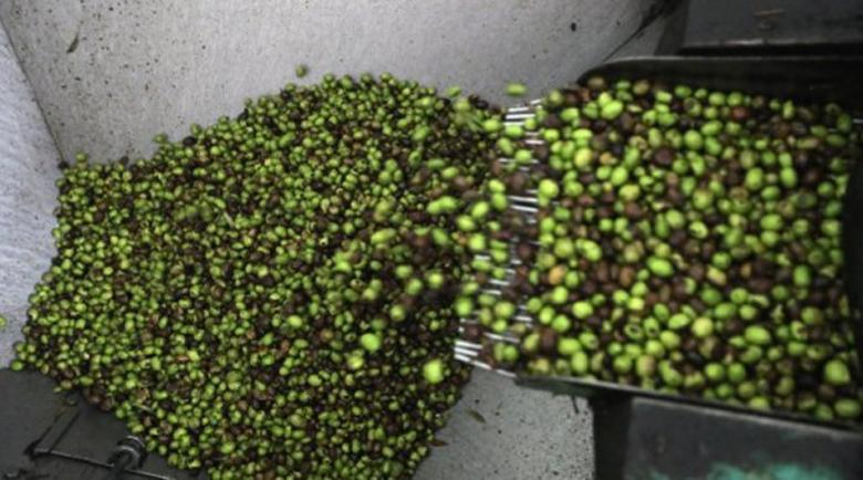 Изсъхват маслиновите насаждения, знак ли е, че зехтинът поскъпва?