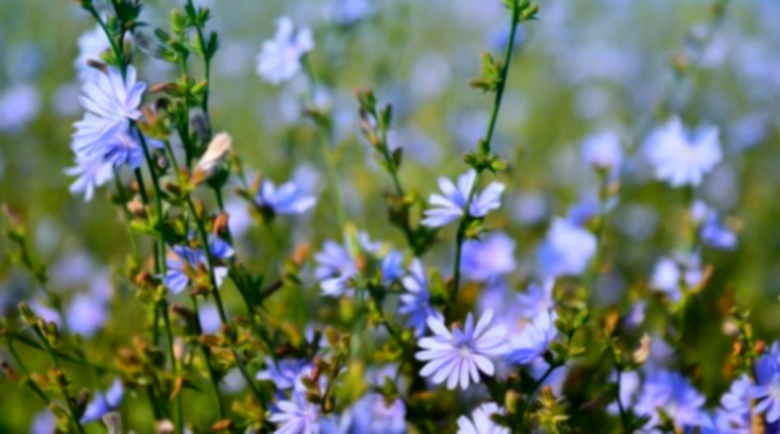 Цикория – природен начин за сваляне на излишни килограми