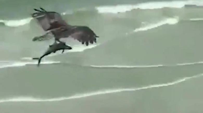 Орел си хвана двуметрова акула за вечеря