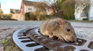Набези от плъхове плашат британците