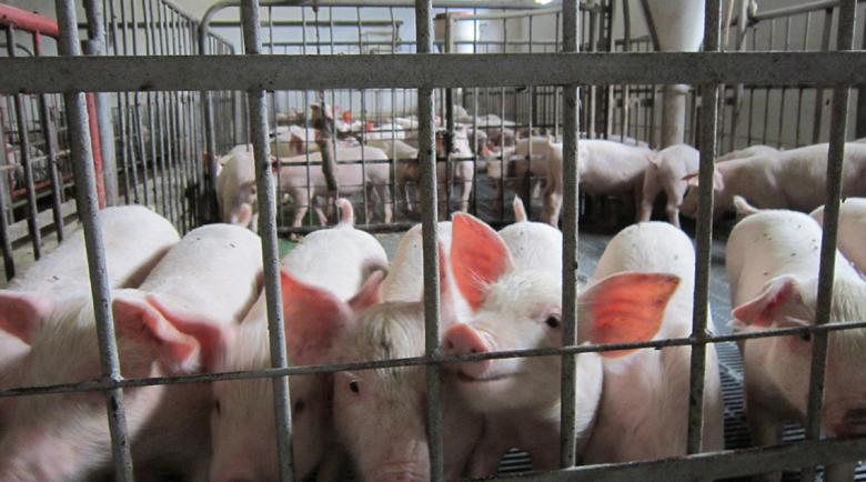 Румен Караманов, Асоциация на свиневъдите: Ядем прасетата на Германия, които Китай върна